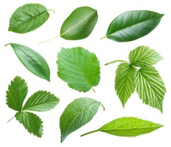 Collection of garden leaves on white background. Green leaves isolated on a white background.