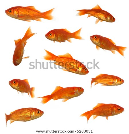 Collection of goldfish. High resolution 4000 x 4000 pixels. On clean white background.