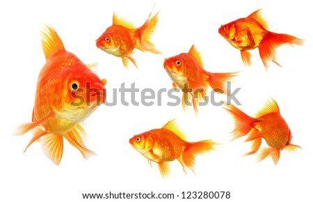 collection of goldfish isolated on white showing nature or eco concept