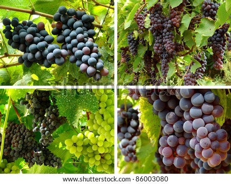 collection of grape clusters growing on the vine