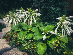 Collection of green hostas with white flowers in estate backyard. Custom stonework in foreground with manicured lawn and shrubs.