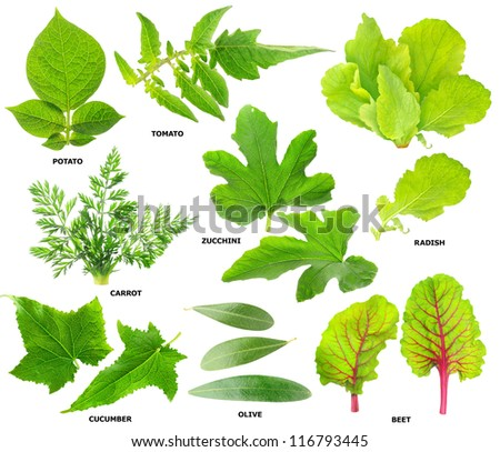 Collection of green leaves of  vegetable plants isolated on white - stock photo