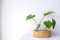 Collection of green leaves plant in glass vases in rattan wooden basket on wooden floor with white curtain background in natural light