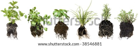 Collection of herb seedlings, isolated on white.  Includes mint, coriander or cilantro, basil, chives, thyme and rosemary.