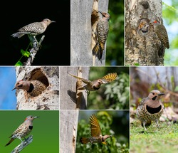 Collection of 8 Images of Northern Flicker