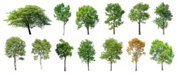 Collection of Isolated Trees on white background , A beautiful trees from Thailand , Suitable for use in architectural design , Decoration work , Used with natural articles both on print and website.