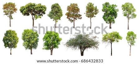 Collection of Isolated Trees on white background , A beautiful trees from Thailand , Suitable for use in architectural design , Decoration work , Used with natural articles both on print and website. #686432833