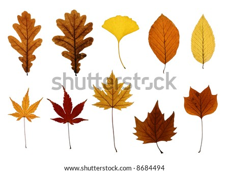 Collection of leaves isolated on white: oak, ginkgo, beech, hornbeam, Japanese, silver and sycamore maple and tulip tree