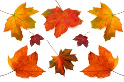 Collection of maple leaves isolated on white background