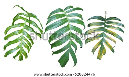 Collection of Monstera philodendron plant leaves, the tropical evergreen vine isolated on white background, clipping path included. #628824476