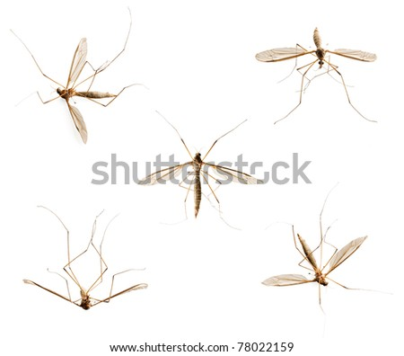 Collection of mosquitoes isolated on white background