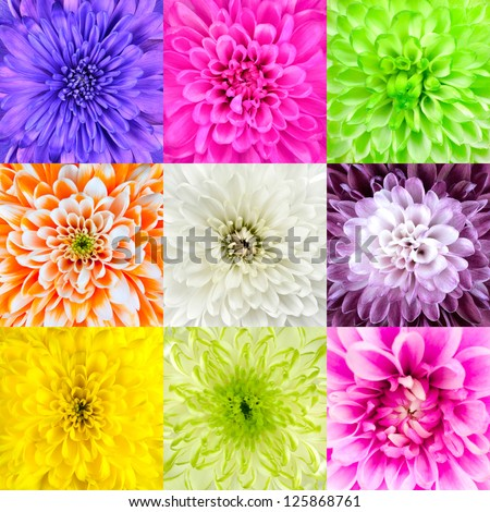 Collection of Nine Chrysanthemum Flower Macros. Nine Square Close-ups of Multi Colored Flowers. High Quality