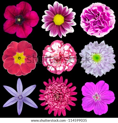 Collection of Nine Various Pink, Purple, Red Flowers Isolated on Black Background. Selection of Nine Periwinkle, Rose, CornFlower, Lily, Daisy, Chrysanthemum, Dahlia, Carnation, Primrose Flowers