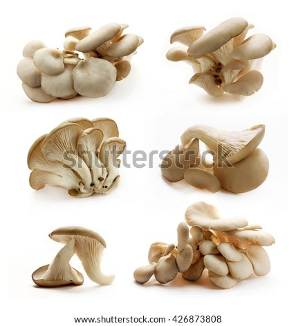 Collection of oyster mushrooms isolated on white background #426873808
