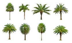 Collection of Palm tree isolated on white background, set of eight palm trees