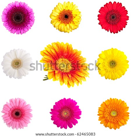 Collection of Perfect Gerber Daisies - completely isolated on white