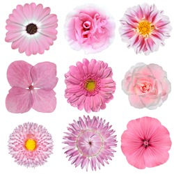 Collection of Pink White Flowers Isolated on White Background. Selection of Daisy, Carnation, Chrysanthemum, Hydrangea, Gerber, Rose, Strawflower, Petunia