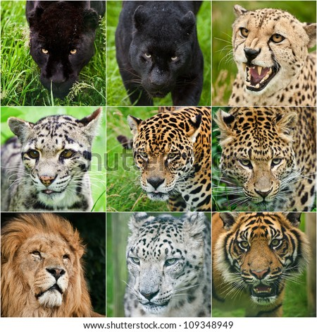 Collection of portraits of all big cats black leopard, black jaguar, cheetah, clouded leopard, jaguar, leopard, lion, snow leopard, tiger in captivity