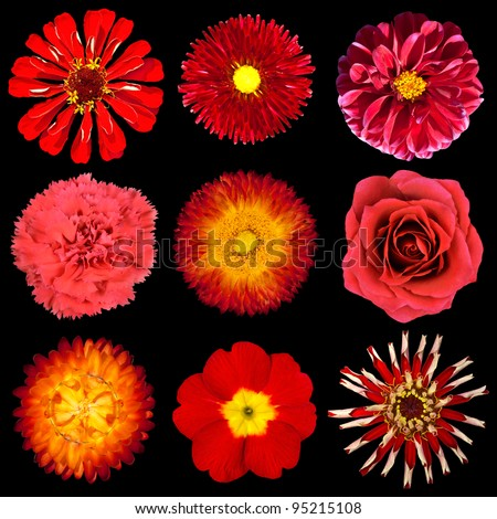 Collection of Red Flowers Isolated on Black Background. Set of Nine Zinia, Primrose, Strawflower, Rose, Carnation, Dahlia, Perenial Daisy Flowers