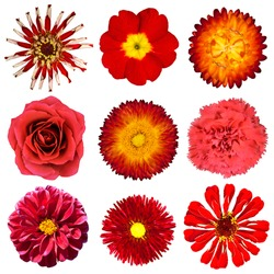 Collection of Red Flowers Isolated on White Background. Set of Nine Zinnia, Primrose, Strawflower, Rose, Carnation, Dahlia, Perenial Daisy Flowers