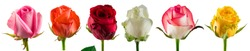 collection of roses, Set of colored rose red isolated flower heads white, pink, red colors