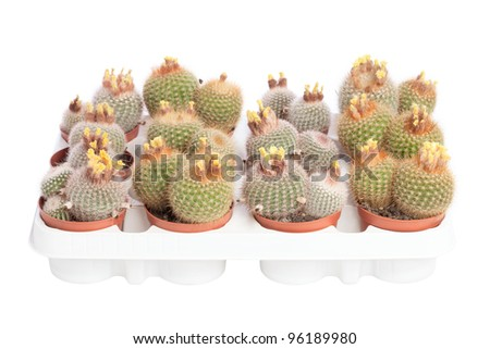 Collection of several cacti with yellow flowers in pots isolated on white