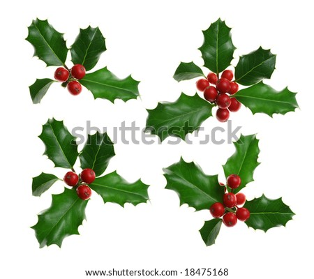 Collection of sprigs of European holly Ilex aquifolium isolated on white
