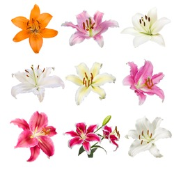 collection of various color Lilly flowers contain yellow, white, pink and orange Lilly flower