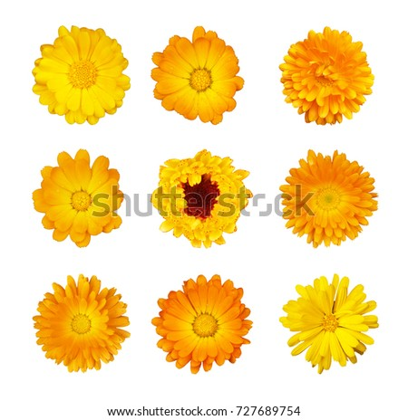 Collection of yellow and orange flowers of marigold medicinal isolated on white background. Calendula officinalis, daisy Asteraceae. Culinary and medicinal herbs. Calendula are sacred flowers in India