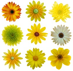 Collection of Yellow Flowers Isolated on White. Various set of Dahlia, Dandelion, Daisy, blackeyed susan