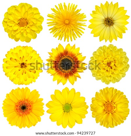 Collection of Yellow Flowers Isolated on White. Various set of Dahlia, Dandelion, Daisy, Gerber, Sunflower, Marigold Flowers