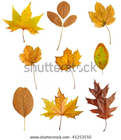 collection of yellow leaves on white background