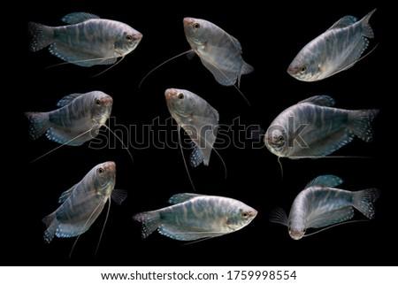 Collection Opaline Gourami/Blue Gourami aquarium fish isolated on Black background Foto stock ©