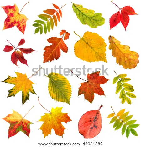 collection set of  beautiful colorful autumn leaves close up  isolated on white background