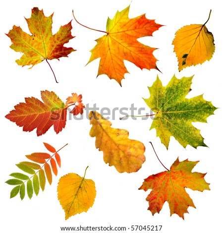Collection set of  beautiful colourful autumn leaves isolated on white background