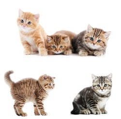 Collection set of British Shorthair little kittens over white background