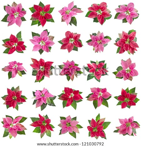 collection set of christmas flower poinsettia isolated on a white background