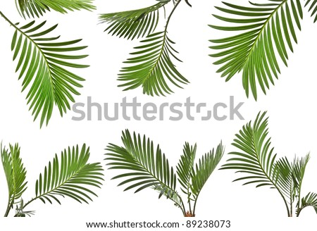 Collection set of leaves of palm tree close up isolated on white background