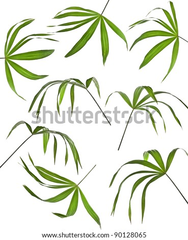 Collection set of  palm leaf isolated  on white background