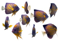 Collection swimming fish on white background/tropical colorful fish/blue ring angelfish/beautiful coral reef fish/school of fish/fish pattern background