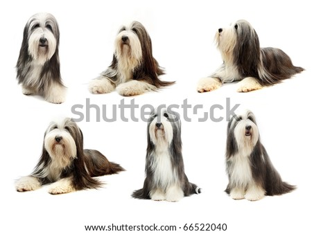 collectoin of Bearded Collie