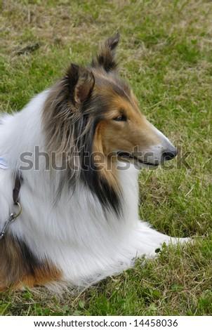 Collie dog lying down