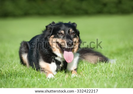 collie dog resting and panting after excercise