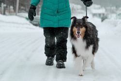 Collie Dog Taking a Walk with Human in the Snow in Quebec Canada