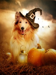 Collie dog with witch hat decorated with halloween pumpkins
