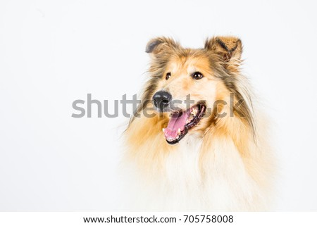 Collie rough on white background