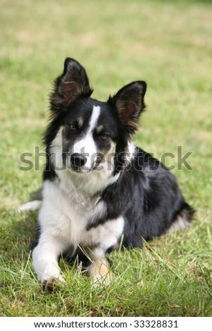 Dog Ready For Adoption Shetland Sheepdog Sheltie Terrier Mixed | Dog ...