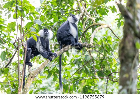 colobus monkey in Rwanda