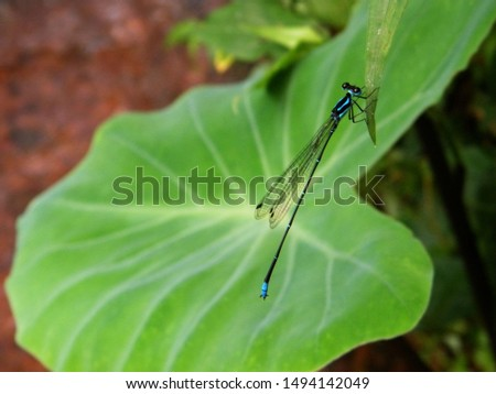 colocasia background for a dragon fly
