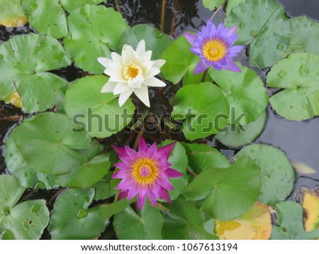 Free photos lotus seeds species flower avopix coloful lotus flowers floating above the muddy waters represent purity and beauty in the religions of mightylinksfo